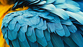 istock yellow and blue macaw feathers 155146030