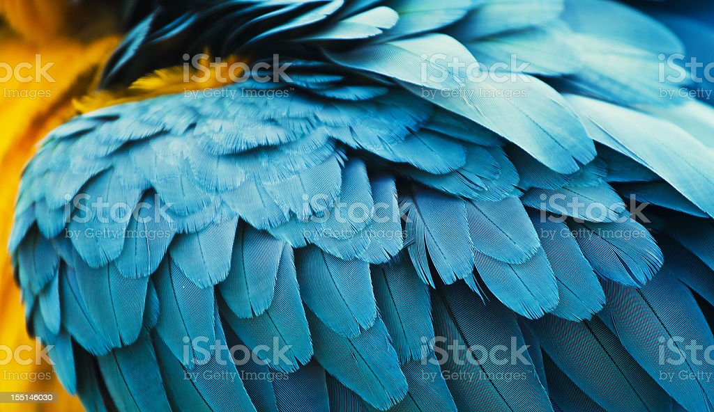 yellow and blue macaw feathers stock photo