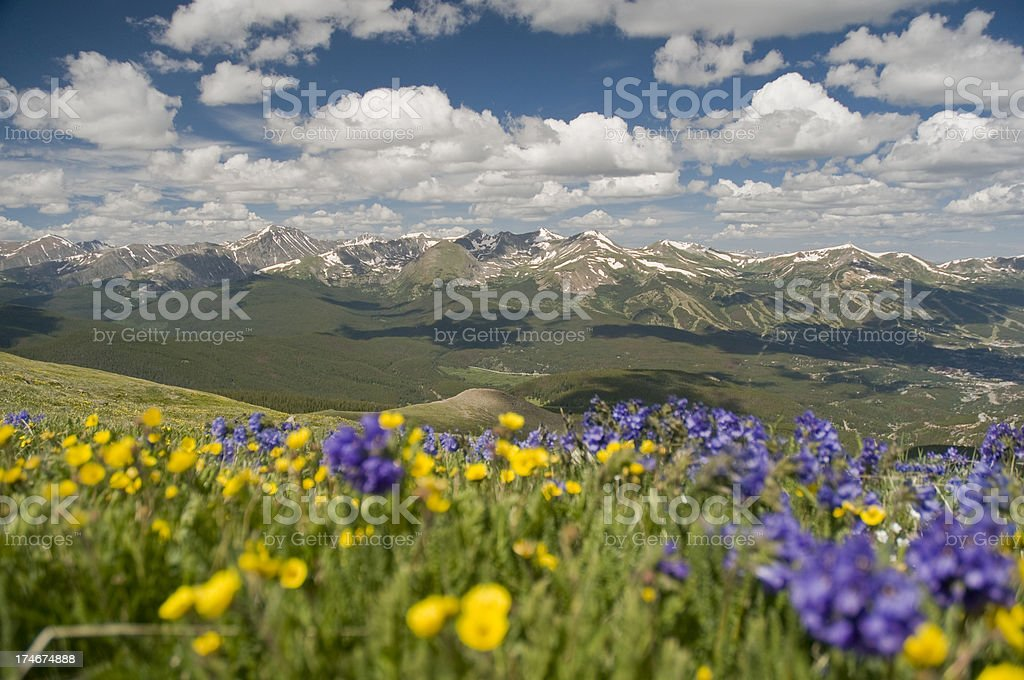 Yellow and Blue Mountain Wildflowers stock photo