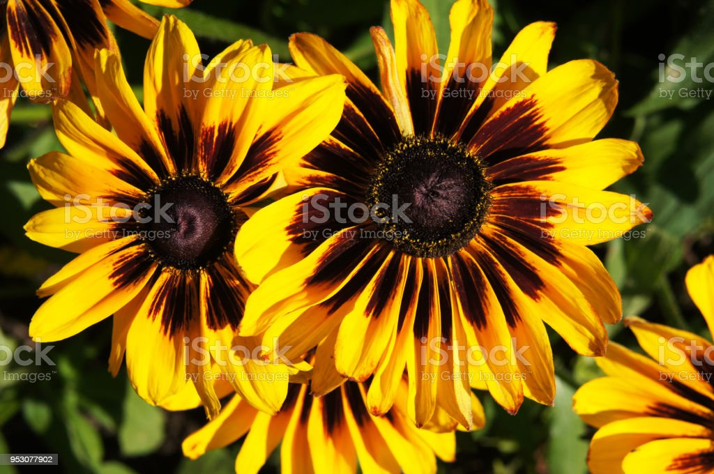 Yellow and brown rudbeckia or Black-eyed-Susan flower in garden stock photo