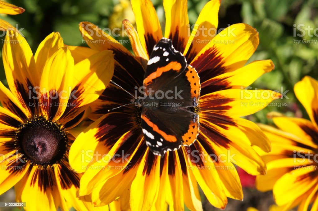 Yellow and brown rudbeckia or Black-eyed-Susan flower in garden with peacock butterfly on it. stock photo
