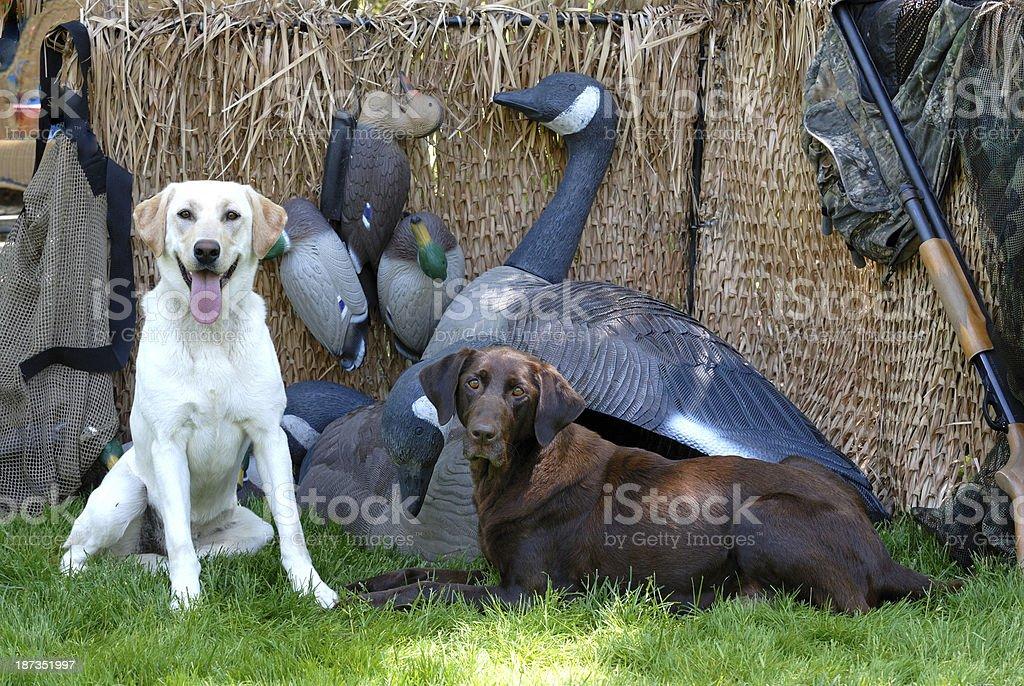 Yellow and Chocolate Labrador retriever stock photo