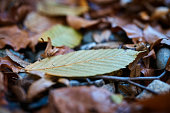 A close-up shot of a yellow and green autumn leaf that is lying on the forest ground.