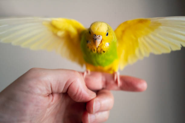 Yellow and green budgerigar parakeet pet taking off from the finger and hand of a person.  The little bird has her wings at full span. stock photo