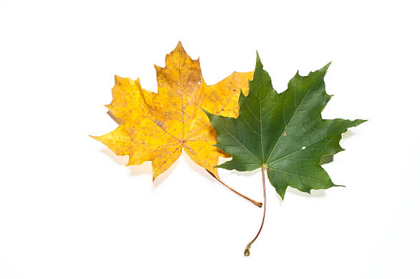 Yellow and green fall leaves stock photo