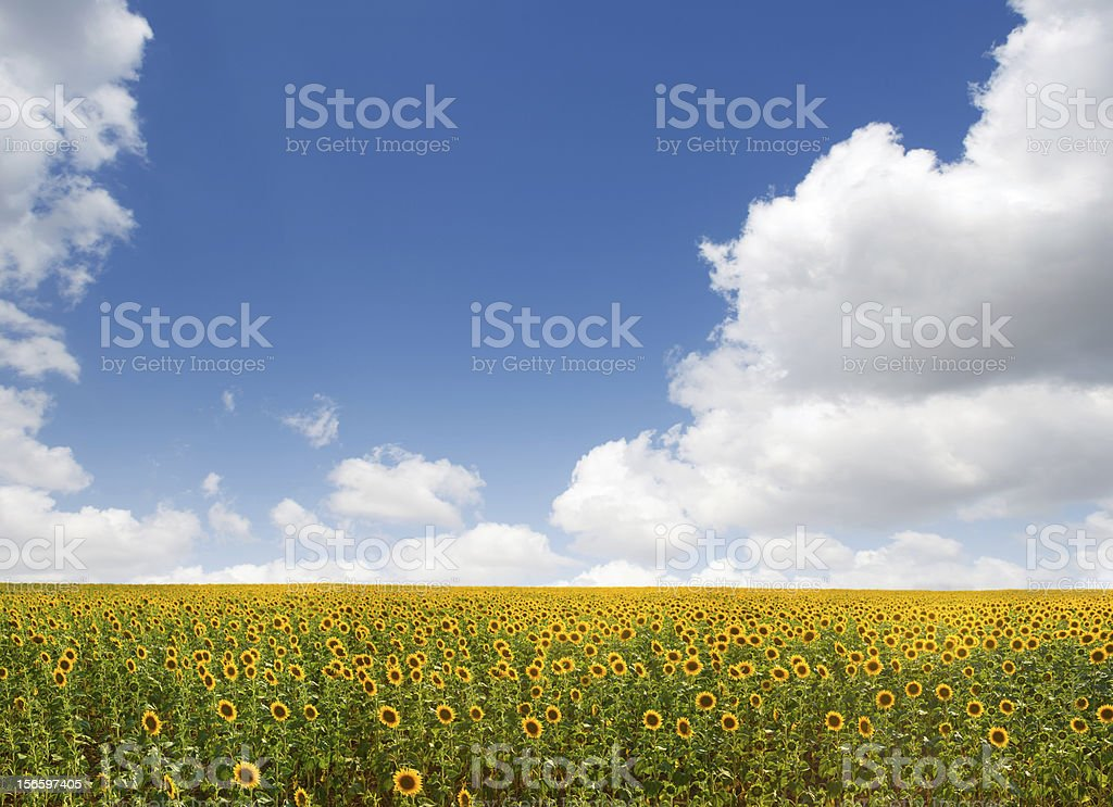 Yellow and green field (Sunflowers) royalty-free stock photo
