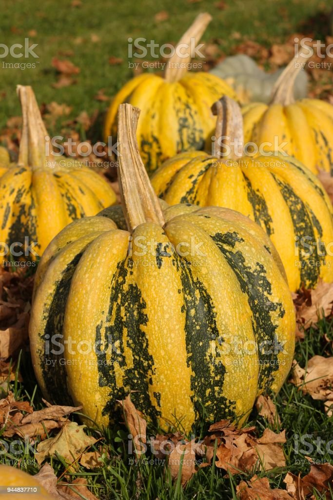 yellow and green gourds stock photo more pictures of agriculture rh istockphoto com
