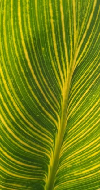 gelbeund grüne blatt nahaufnahme textur. variegated leaf. tropischeblatt selektive fokus. spathiphyllum cannifolium. natürlicher hintergrund, tropische blätter in asien und thailand. - palmwedel stock-fotos und bilder