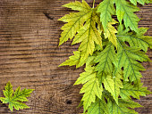 bright yellow and green platanoides maple leaves on an old wooden board, autumn background
