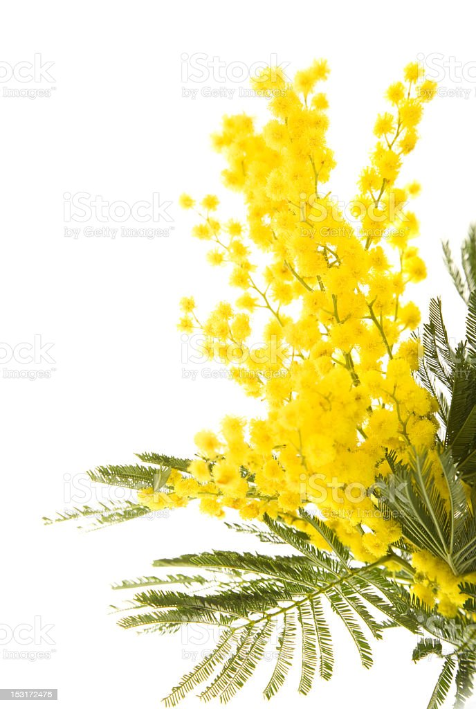 Yellow and green mimosa tree branch on white background stock photo