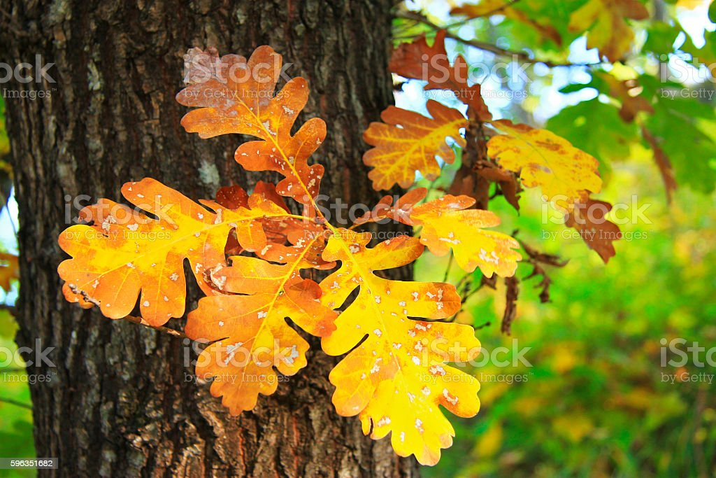 Yellow and green oak leaves on the tree royalty-free stock photo