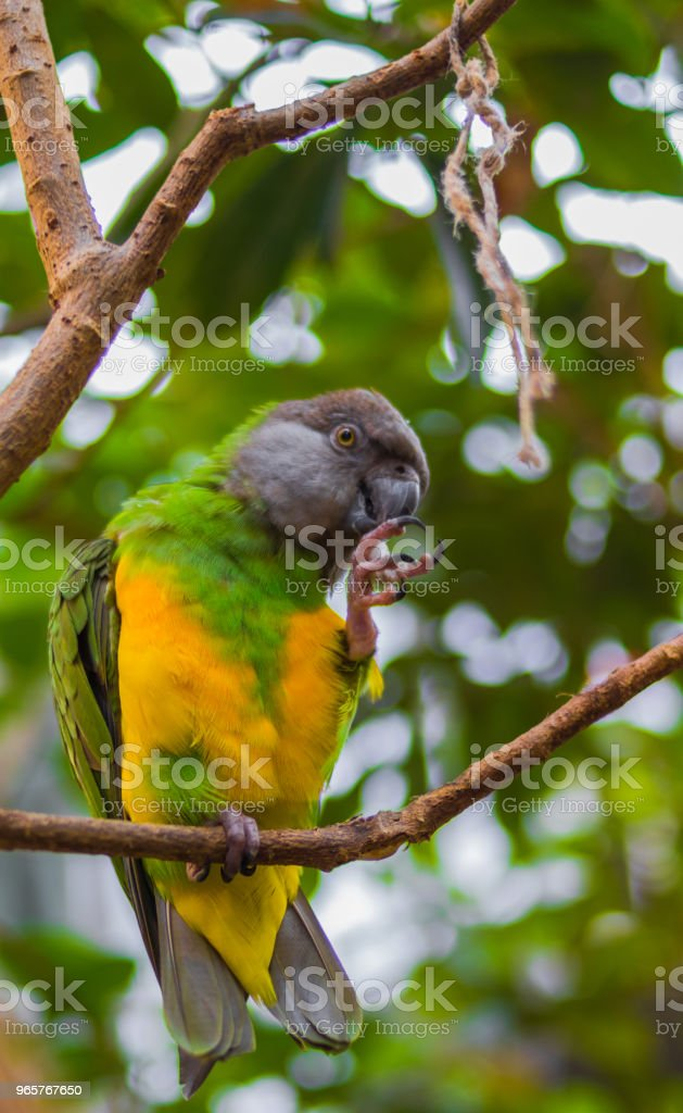 Yellow and Green Parrot - Royalty-free Animal Stock Photo