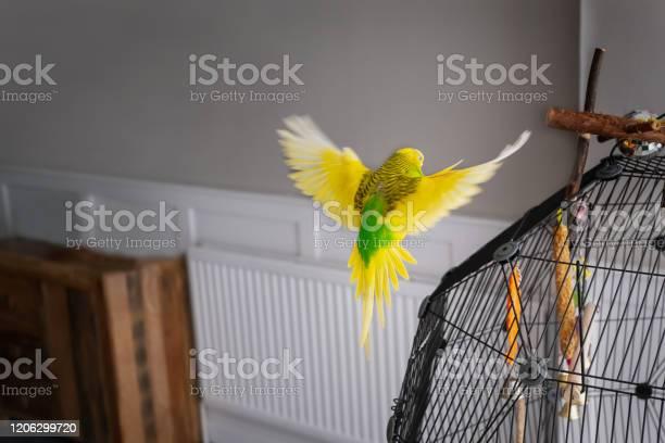 Yellow and green pet budgerigar parakeet bird flying indoors towards picture id1206299720?b=1&k=6&m=1206299720&s=612x612&h=nptn1pmrzqvm qq7qspjshkntrhtbm6vzfe9xluzufi=