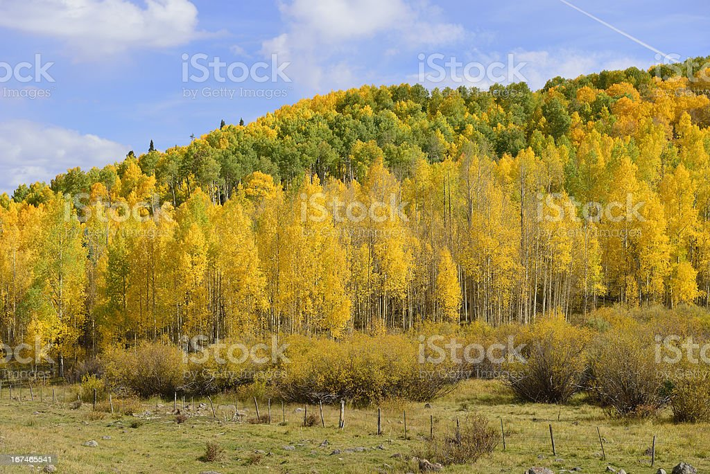 Yellow and green trees growing on the clope of Colorado royalty-free stock photo