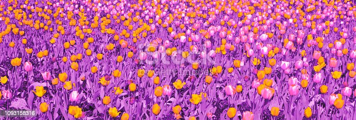 1135260918 istock photo Yellow and light pink tulips with purple leaves 1093158316