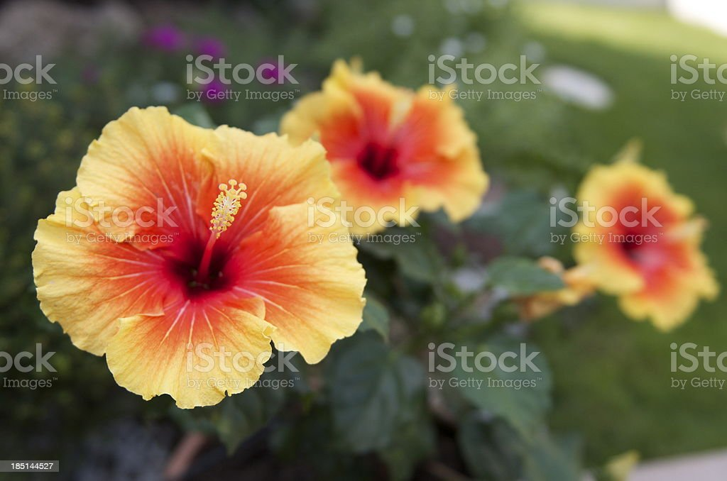 Fiori Gialli E Arancioni.Fiore Giallo E Arancione Ibisco Stock Photo Download Image Now