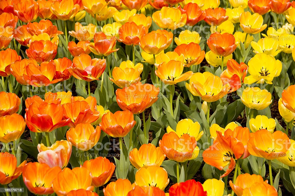 Yellow and orange flowers stock photo