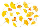 黄色とオレンジ色のイチョウ葉