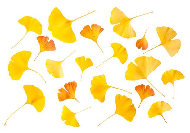 gelb und orange ginkgo-blätter - ginkgo stock-fotos und bilder