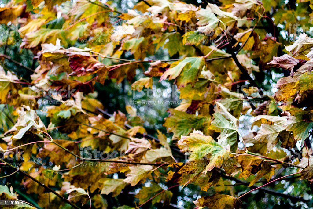 Yellow And Orange Leaves Blowing In The Wind Stock Photo Download Image Now Istock