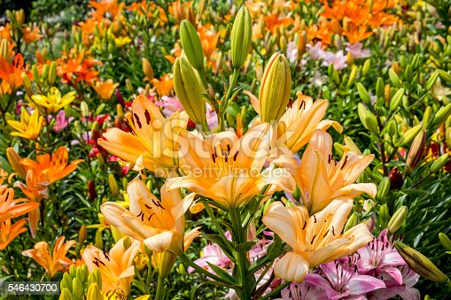 Beautiful Yellow and Orange Lilies in the Garden