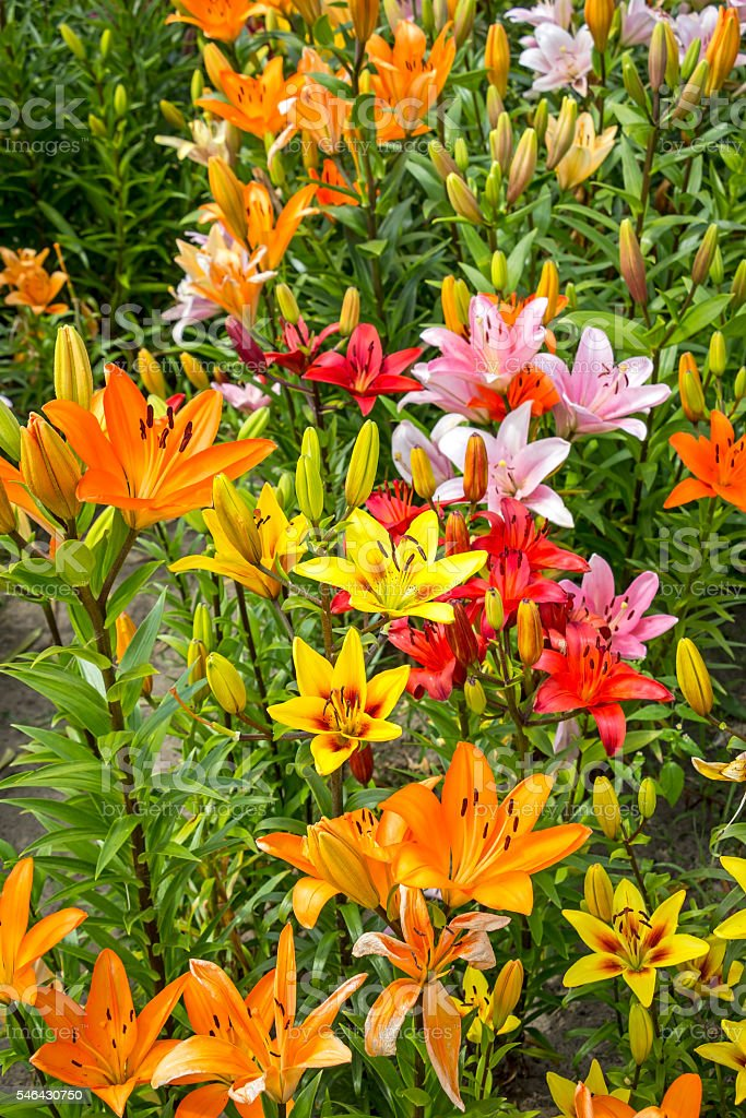 Yellow and Orange Lilies in the Garden stock photo
