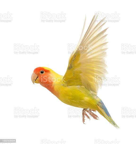Yellow and orange lovebird agapornis roseicollis in flight picture id155253504?b=1&k=6&m=155253504&s=612x612&h=9dur rjy704nnb7sj n fetpzkx1vkntfnqwzbg2kfm=