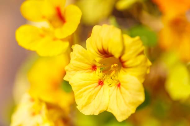 Yellow and Orange Nasturtium Flowers in Springtime stock photo