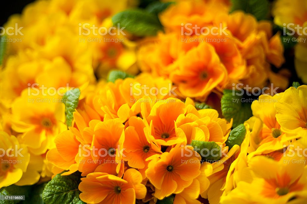 Yellow and orange Primula flowers stock photo
