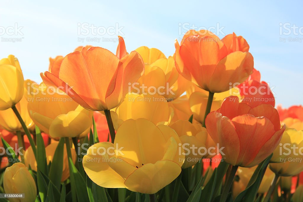Yellow and orange tulips foto