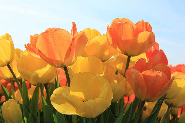 Yellow and orange tulips​​​ foto