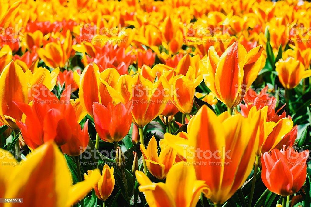 Yellow and orange tulips royalty-free stock photo