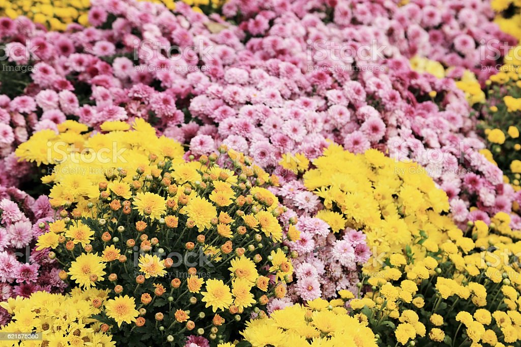 Yellow and pink chrysanthemum flowers in garden for background. photo libre de droits