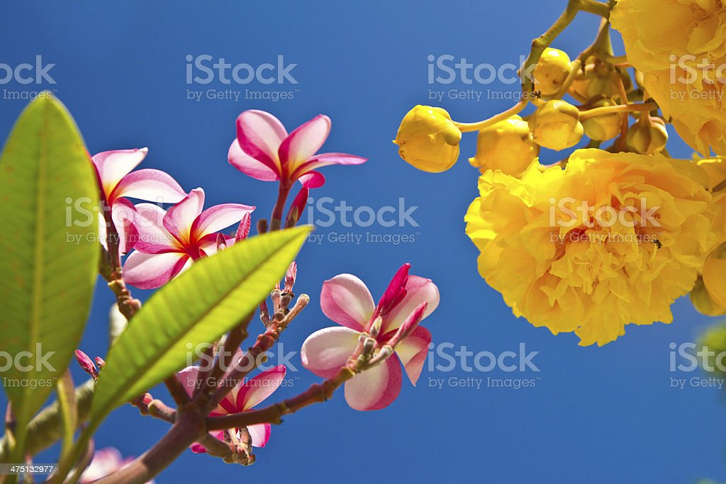 Yellow and pink, flowers royalty-free stock photo