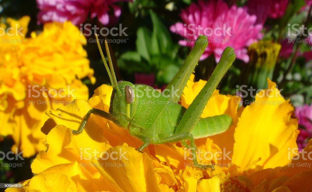 Yellow and Pink Flowers with Green Grasshopper royalty-free stock photo