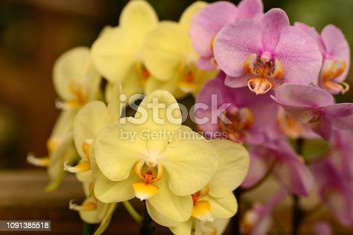 Phalaenopsis Moth : bright color orchid flowerheads