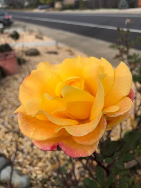 Yellow and pink rose stock photo