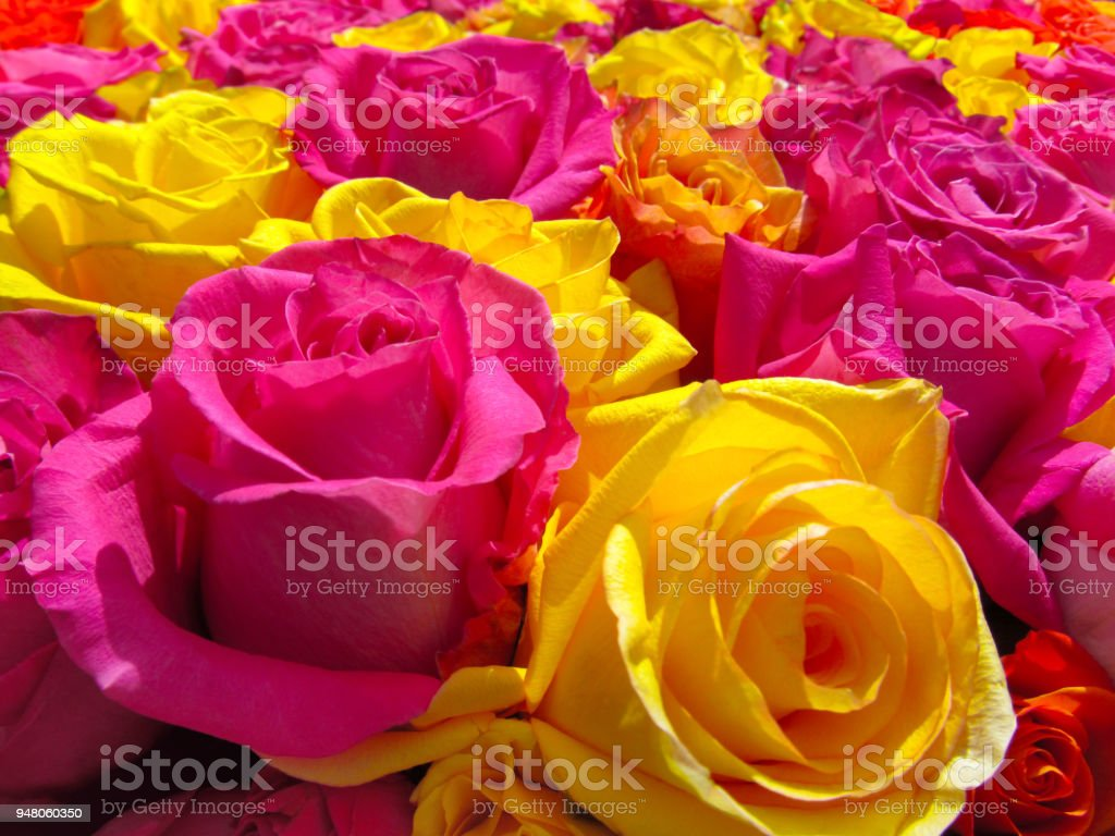 Yellow And Pink Roses As Bright Floral Background Stock Photo More