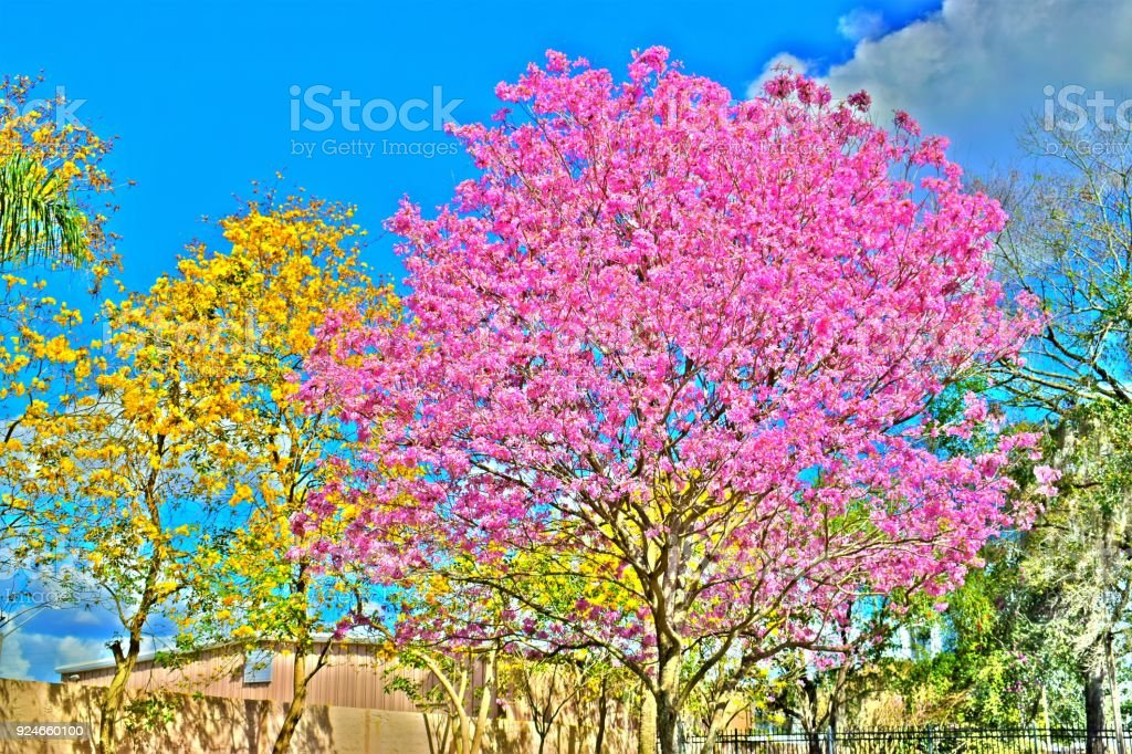 Yellow And Pink Spring Flower Trees In Backyard Stock Photo More
