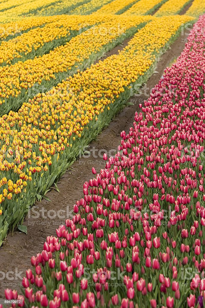 Yellow and pink tulip rows royalty-free stock photo