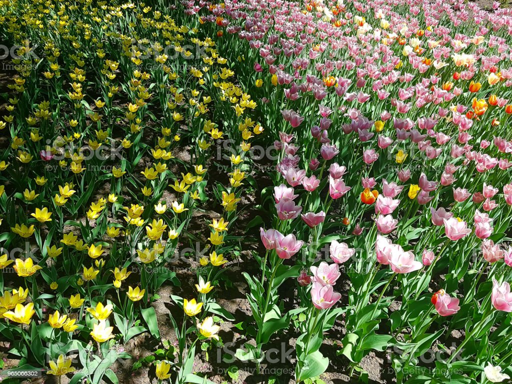 Yellow and pink tulips are the tracks in the posture in the ground. zbiór zdjęć royalty-free