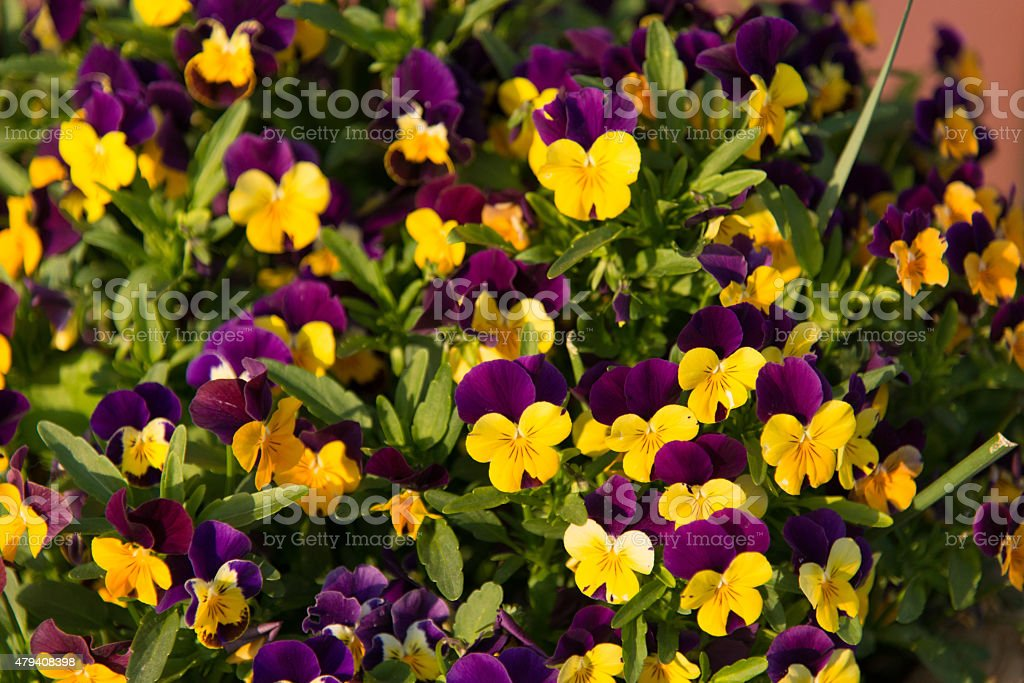 Fiori Viola E Gialli.Fiori Gialli E Viola Stock Photo Download Image Now Istock
