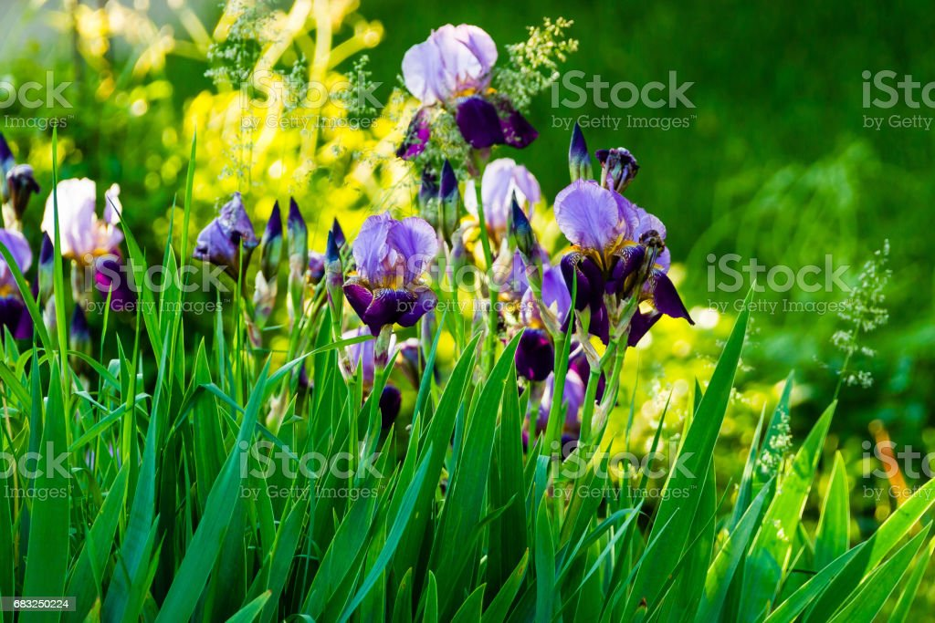 yellow and purple Iris in the early morning sunlight 免版稅 stock photo