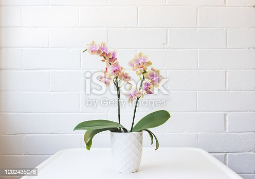 Close up of yellow and purple phalaenopsis orchid in white pot on table against painted brick wall (selective focus)
