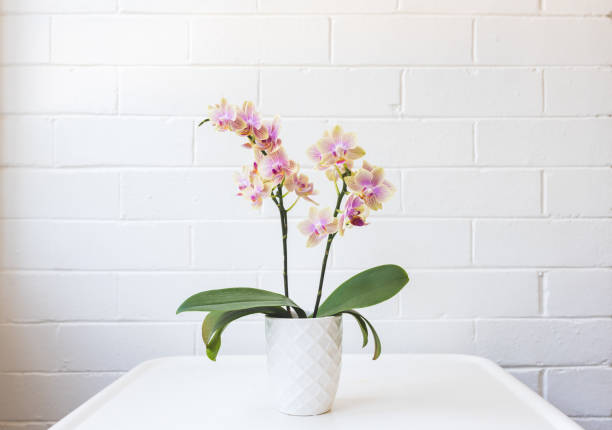 Yellow and purple moth orchid on white table stock photo