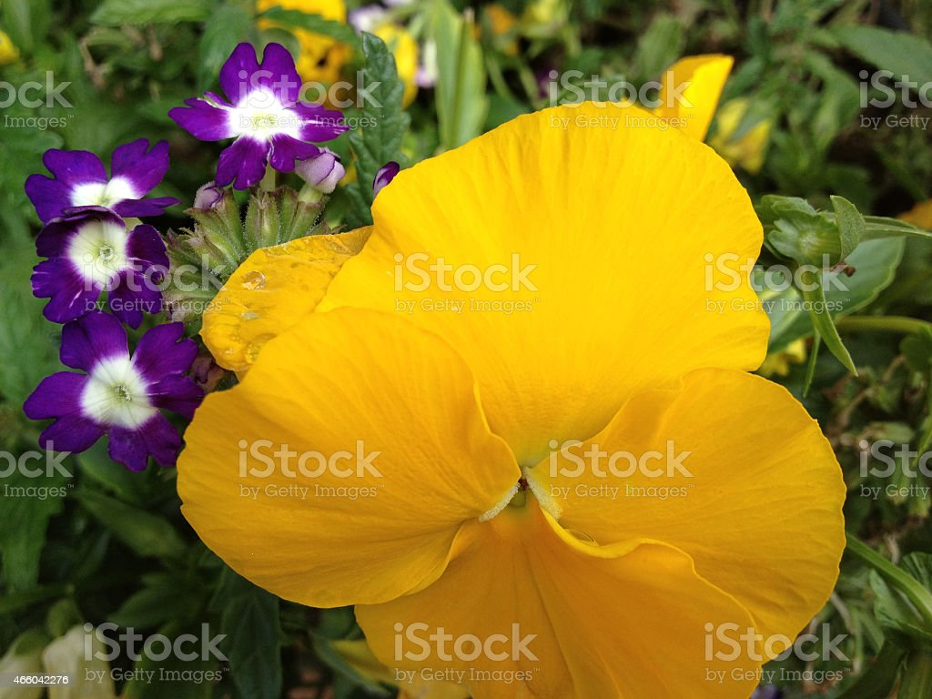 Yellow and purple pansies stock photo