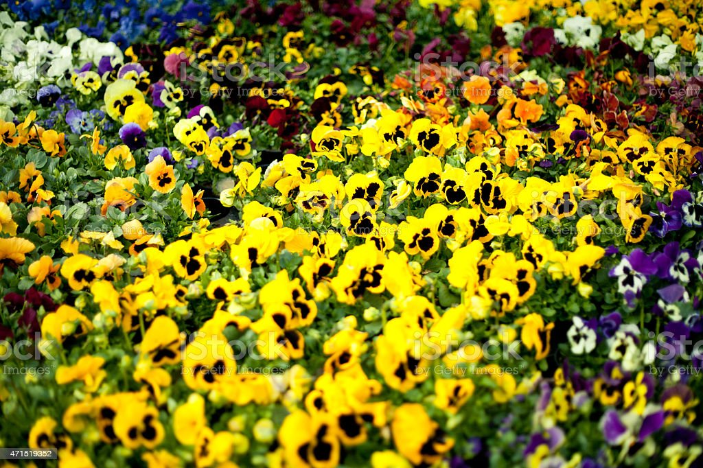 Yellow and purple Pansy flowers stock photo