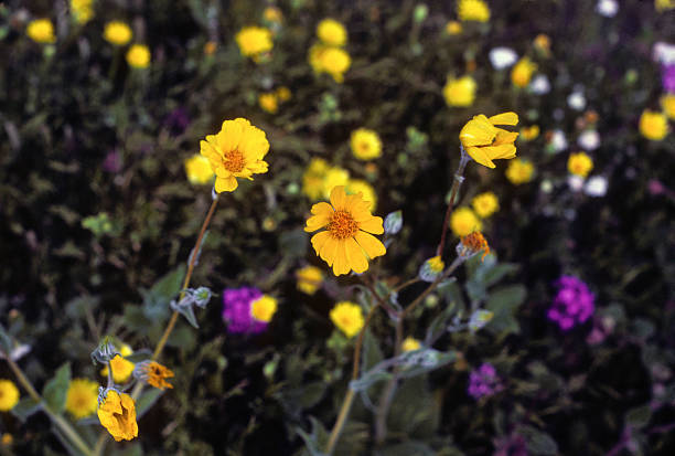 Yellow and purple wildflowers in Arizona Yellow and purple wildflowers in shallow depth of field, flanked by shadowed greenery and white flowers in the distance hearkencreative stock pictures, royalty-free photos & images