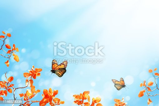 Yellow and red bright autumn leaves and flying butterflies against a blue sky in the sunlight. Autumn natural background. Free space for text.