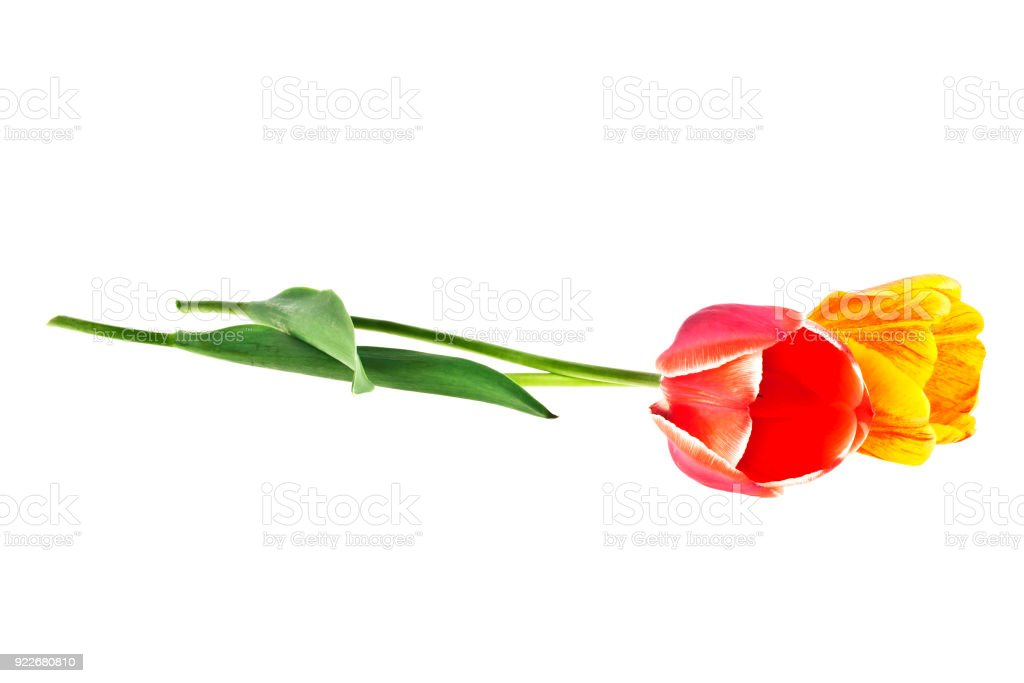 Yellow and red colored tulip flowers isolated on white background. National flower of the Netherlands, Turkey and Hungary. stock photo